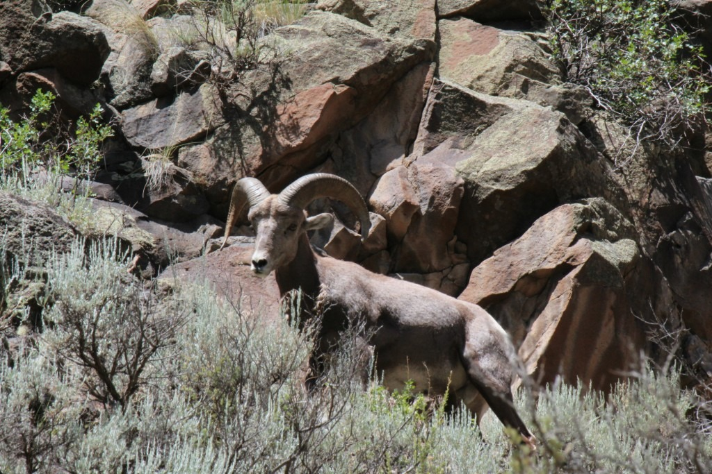 Rio Grande Float - Bighorn Sheep are common sights in the Lower Gorge